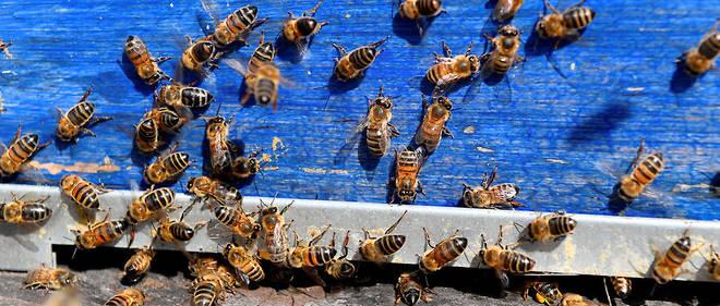 Enlèvement essaims d'abeilles (gratuit)
